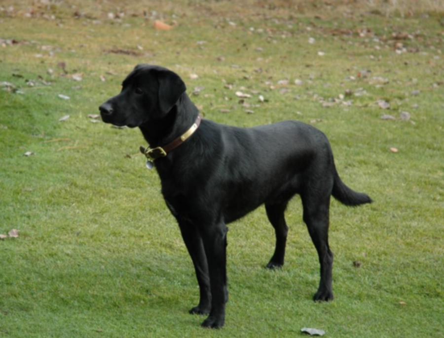 Sunnyview's Carver Country Squire, male black lab