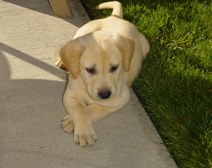 yellow lab puppy, Plushy