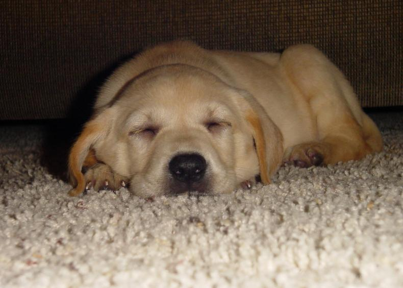 labrador retriever puppy sleeping