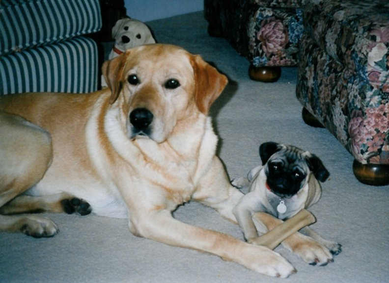 Yellow Labrador Retriever and Pug