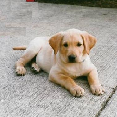 Labrador retriever puppy from Sunnyview, CJ