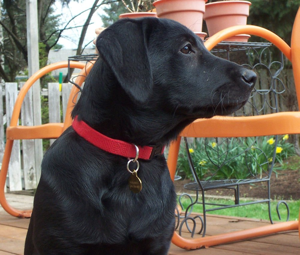 Labrador Retriever puppy from Sunnyview Labradors at fourteen weeks